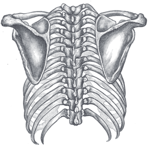 Orientation of the rib cage on the vertebral column - Posterior view    Upper Back Bones