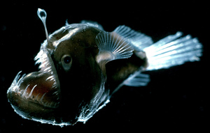Angler Fish Prey about are the anglerfish