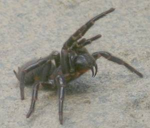 The Sydney funnel web spider (Atrax robustus)