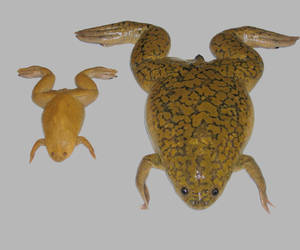 the western clawed frog is particularly interesting for a number