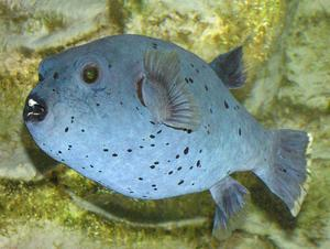 Black-spotted puffer fish, Arothron nigropunctatus