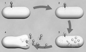 Phage cycle