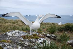 Male Wandering Albatross (Diomedea exulans).