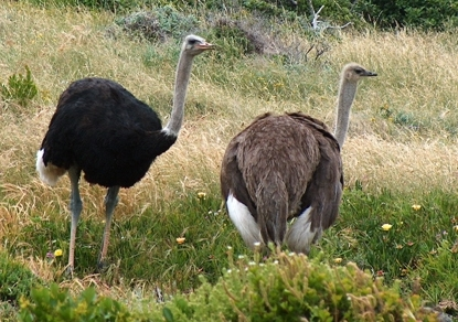 Male and Female Ostriches at Cape Point