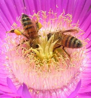 Western Honey Bees collecting pollen