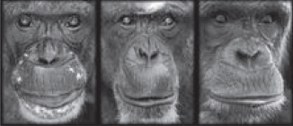 Chimpanzee faces