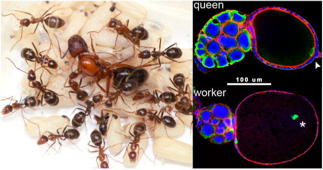 Ant social evolution