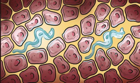 Trypanosomes-in-skin-cartoon
