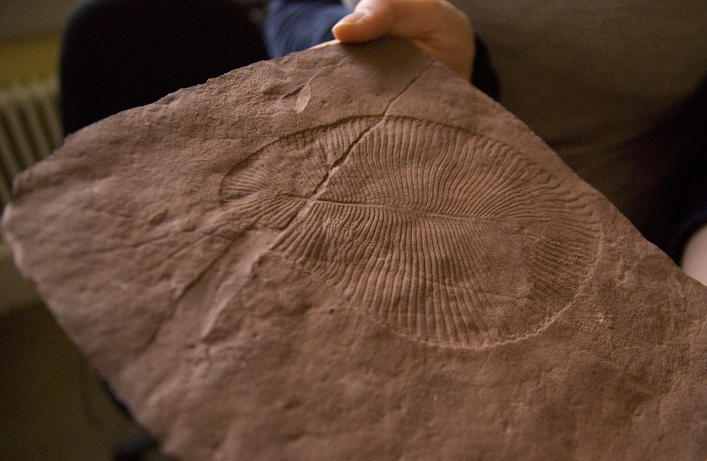 Dickinsonia fossil