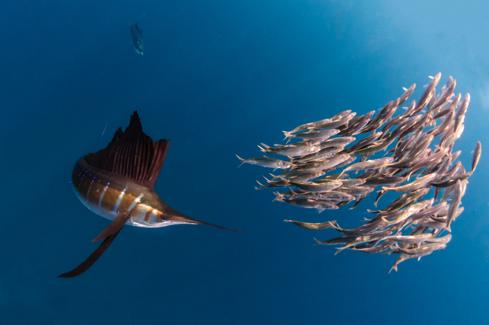 A sailfish hunting a group of sardines off the coast of Mexico