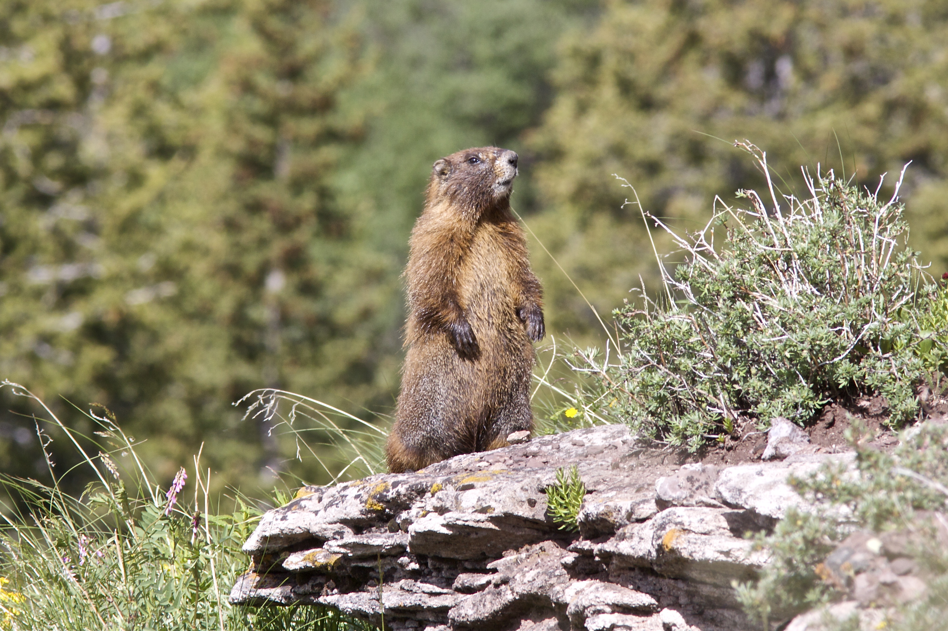 An adult yellow-bellied marmot