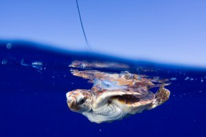 Satellitetagged_neonate_loggerhead_at_sea_surface_released_in_gulf_stream_off_southeast_Florida_coast_2009_Jim_Abernethy_NMFS_permit_1551