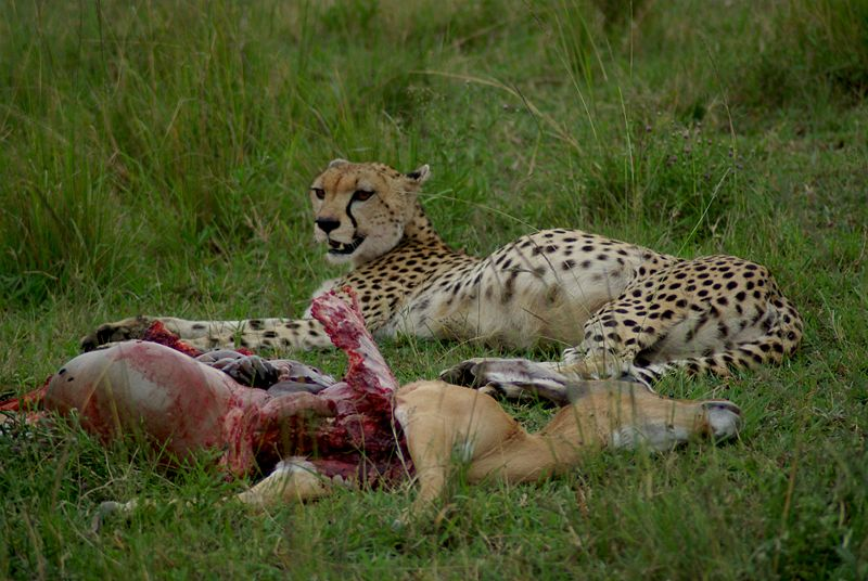 Cheetah (Acinonyx jubatus) with Impala (Aepyceros melampus) that it had recently killed, Masai Mara National Park, Kenya.
