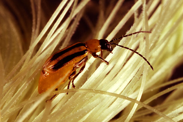 The Western Corn Rootworm