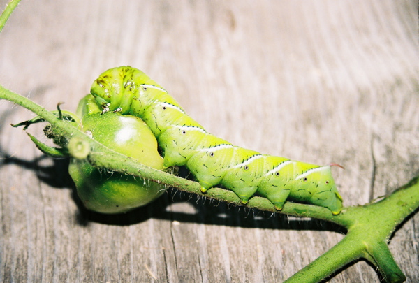Tobacco Hornworm Caterpillar