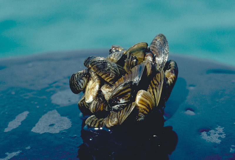 Zebra mussel cluster. Photo taken by D. Jude, Univ. of Michigan.