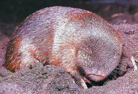 Golden Mole