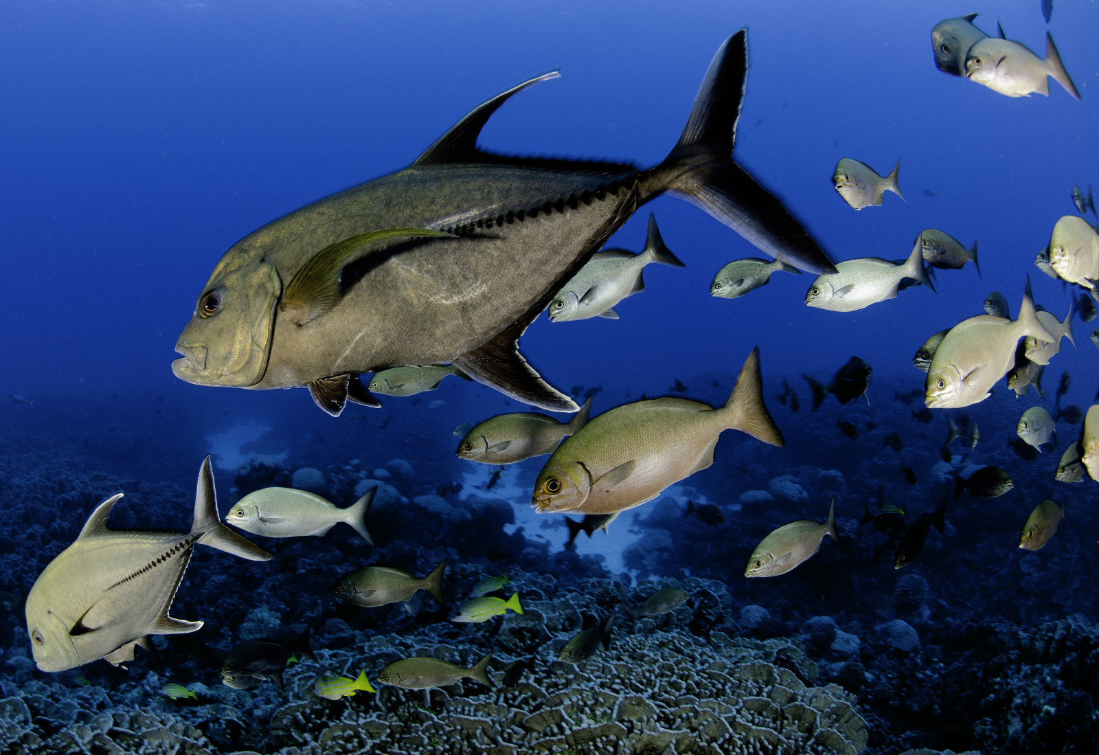 Pitcairn Island fish 1, Enric Sala, National Geographic