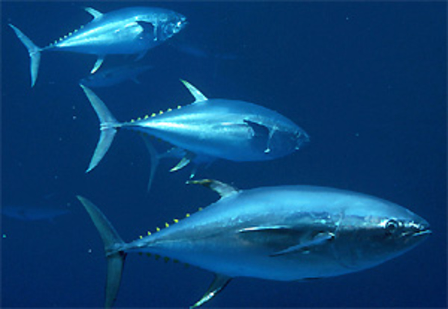 Yellowfin tuna, Thunnus albacares
