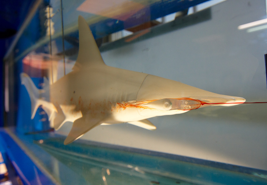Model shark in flow tank