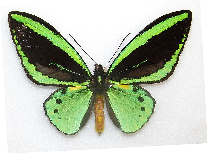 Common green birdwing butterfly