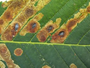 Damage caused by the horse-chestnut leaf miner (Cameraria ohridella)