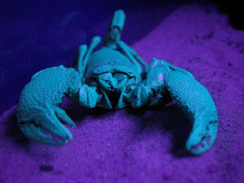 This scorpion is black when viewed under normal lighting. Here it is seen illuminated by an ultra violet light.