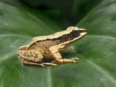 The concave-eared torrent frog