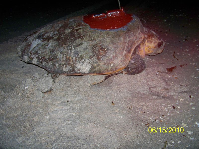 Loggerhead turtle with satellite transmitter
