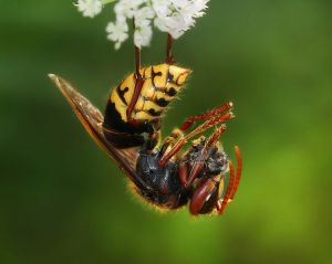 European hornet with the remnants of a honey bee.