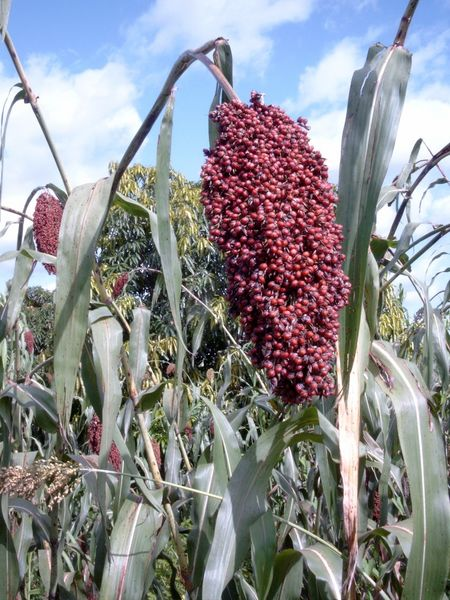 Sorghum (Sorghum bicolor) on a field near Fada N