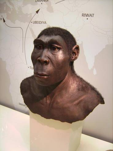 Reconstruction of a Homo erectus
