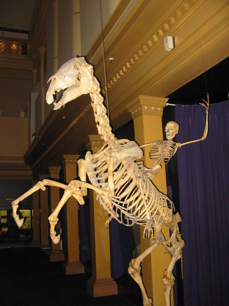 Skeleton of horse and man
