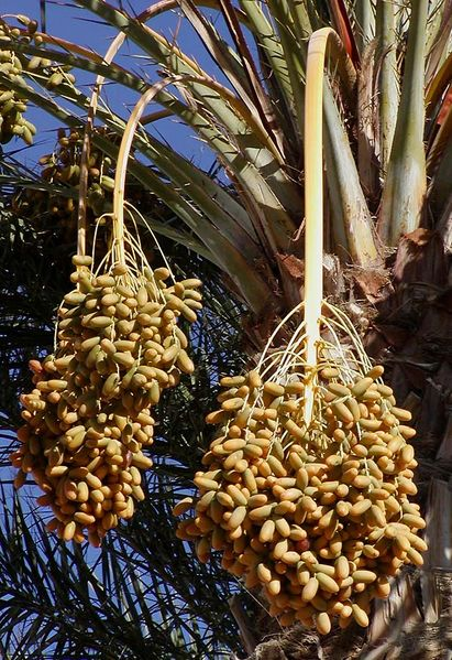 Photo of dates on a date palm