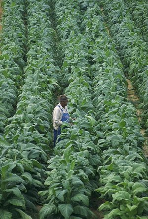 A field of tobacco plants in Chatham, VA