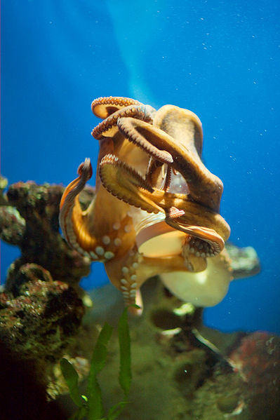 Octopus opening a container with a screw cap.
