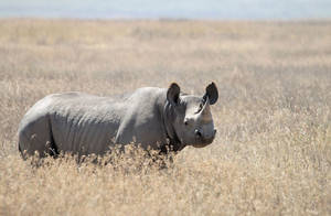 Black Rhinoceros (Diceros bicornis), picture taken at Ngorongoro Conservation Area, Tanzania