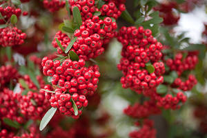 Red pommes of Firethorn (Pyracantha). Shot near Tō-ji temple in Kyoto, Japan.