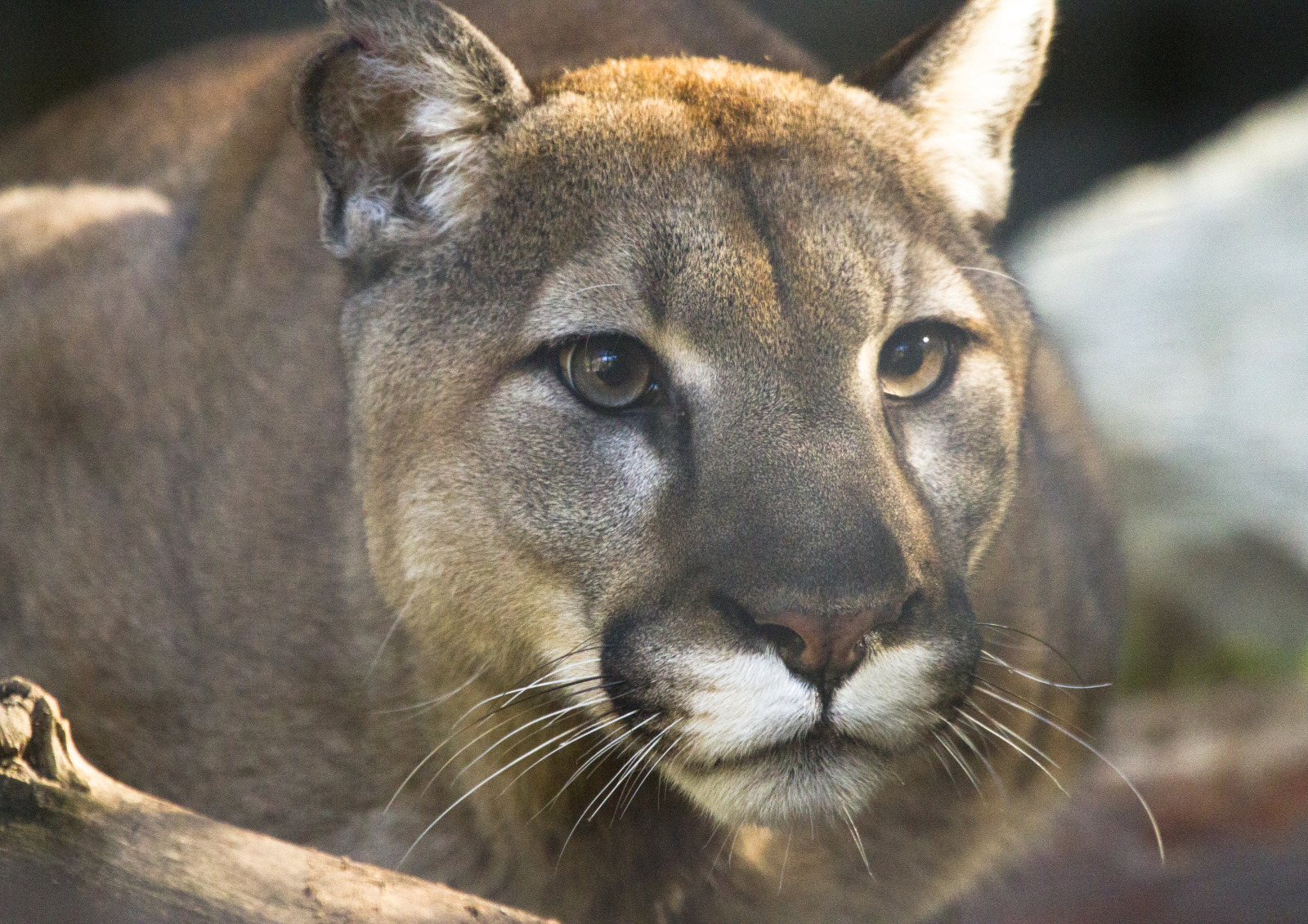 Puma mountain lion