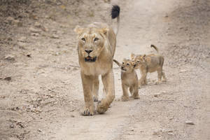 Lions in the Gir Forest
