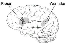 Approximate location of Broca's and Wernicke's areas highlighted in gray