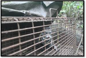 Malay civet in trap