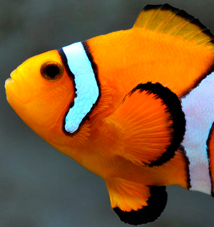 Orange clownfish, Amphiprion percula
