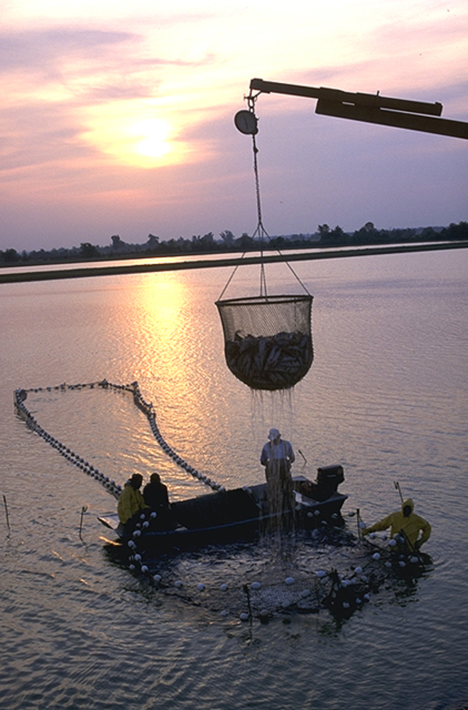 Workers harvest catfish from the Delta Pride Catfish farms in Mississippi.