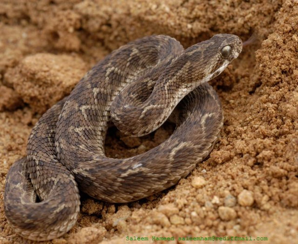 Saw Scaled Viper, Echis carinatus , Bannerghatta, India