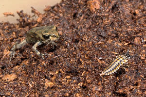 Toad and Epomis circumscriptus