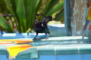 Grackle (bird)