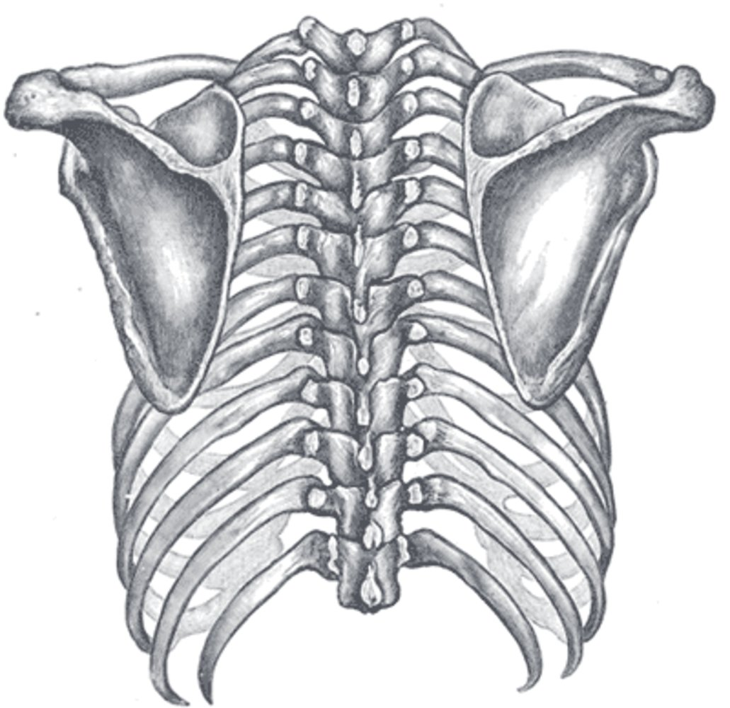 Orientation of the rib cage on the vertebral column