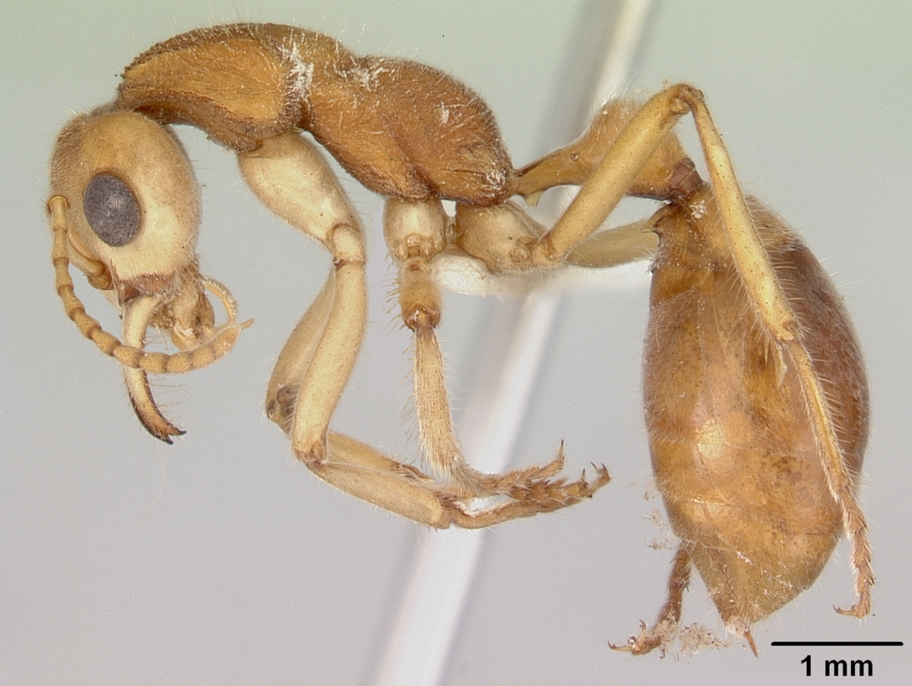 Profile view of the Dinosaur Ant - Nothomyrmecia macrops