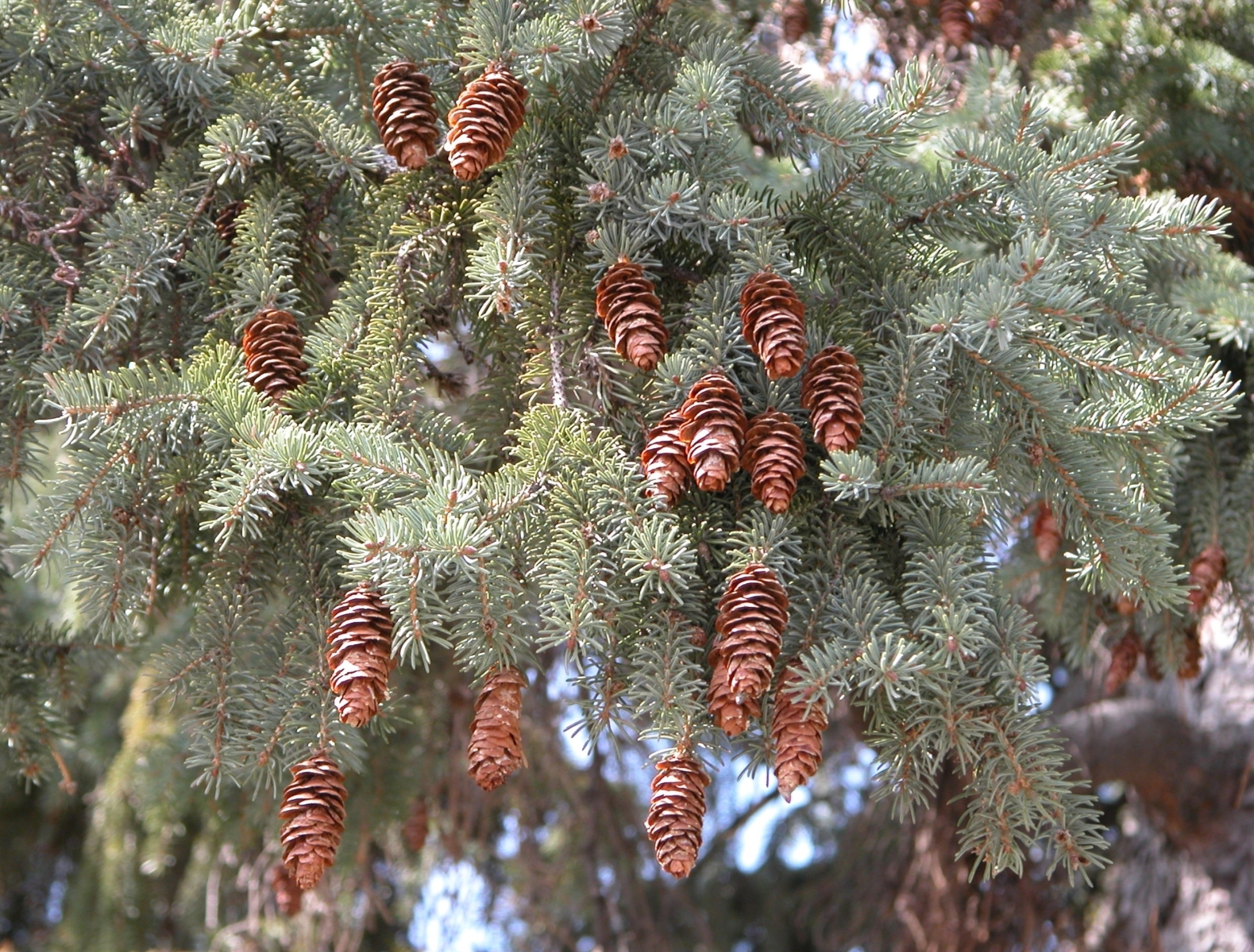 White spruce tree